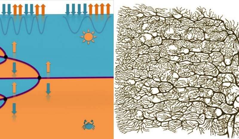 The similarity between doubling in domains in the barium titanate material (left) and a bifurcating pyramidal neuron. Credit: Left panel: Beatriz Noheda, right panel: Ramón y Cajal